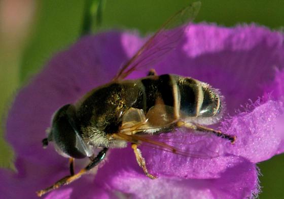 Unknown fly - Eristalis arbustorum