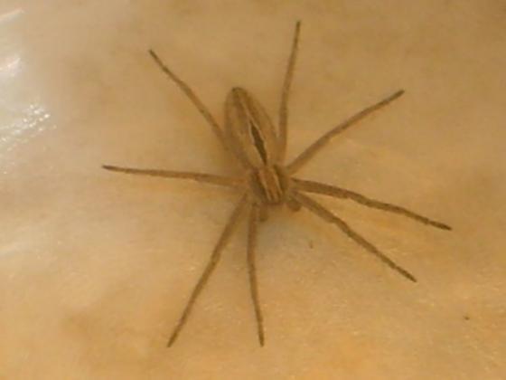 Nursery Web Spider - Thanatus