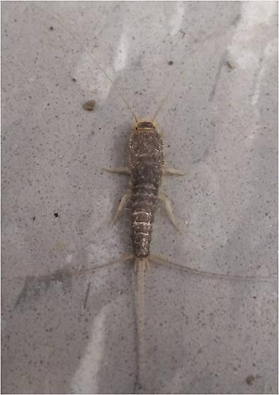 What Specie is this? (Binomial name please) - Ctenolepisma