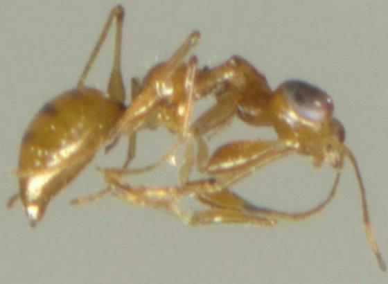 Raptor Wasp - Esagonatopus niger