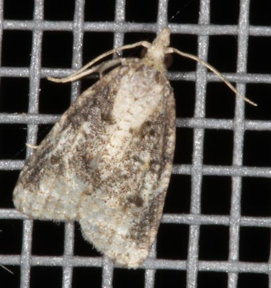 Moth - brown and beige on screen - Platynota exasperatana