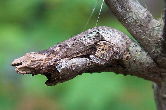 Giant Swallowtail pupa - Papilio cresphontes