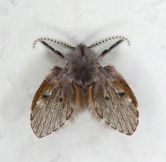Tiny drain fly (thought it was a moth)