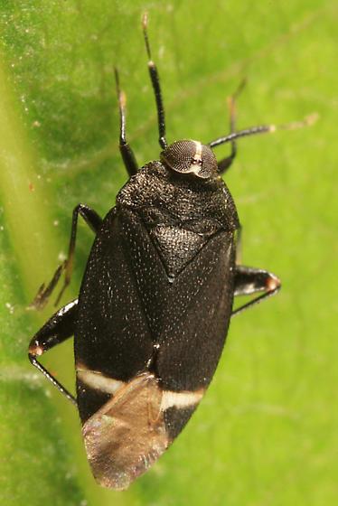 Jumping Tree Bug - Myiomma cixiiformis