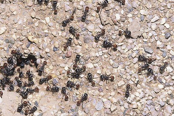 Rough Harvester Ant Nest - Pogonomyrmex rugosus