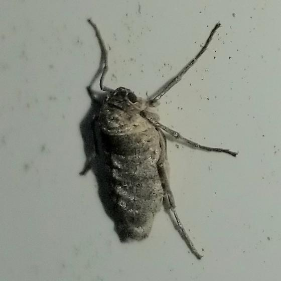 Fall cankerworm moth  [Wingless]  (Alsophila pometaria) - Alsophila pometaria - female