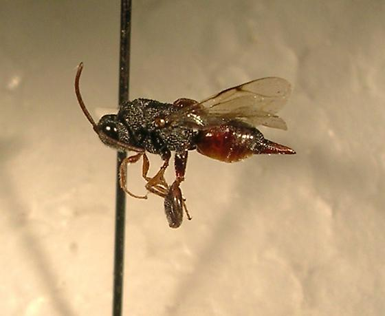 Trigonura californica - female