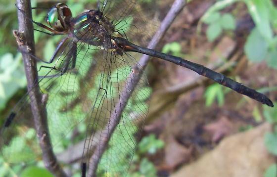 Dillard Creek denizen - Somatochlora linearis - male