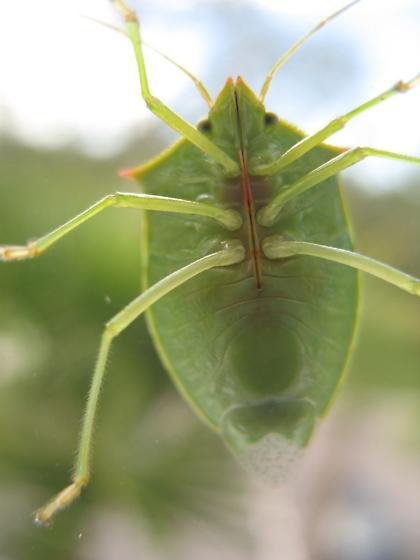 Green stink bug on window - Loxa flavicollis