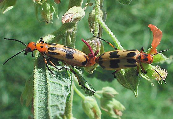 Blister Beetle - Pyrota punctata