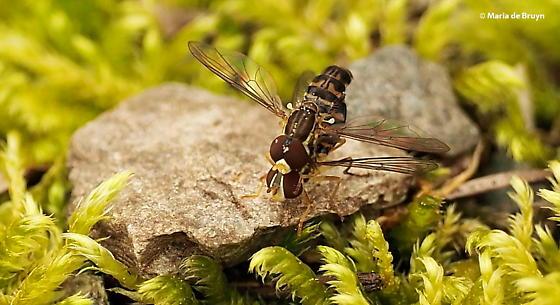 Syrphid fly - Toxomerus geminatus - male - female