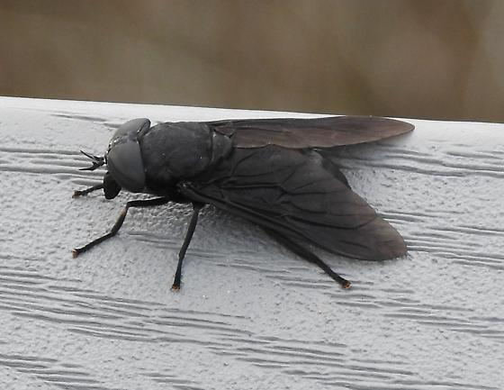 Black Horse Fly (Tabanus atratus)??  St Johns County, Florida - Tabanus atratus - female
