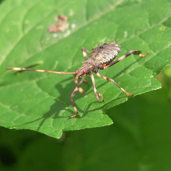 leaf footed bug nymph - Acanthocephala