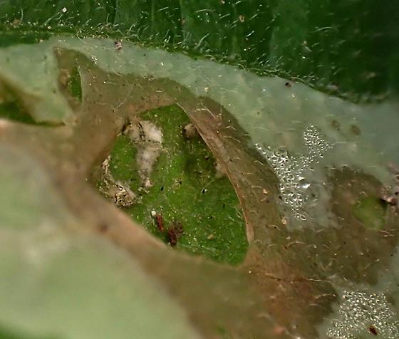 unknown? seen often on Chromolaena odorata, Asteraceae - Calycomyza