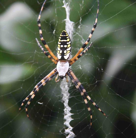 Colorful spider in Florida - Argiope aurantia
