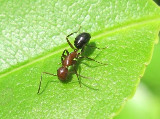 what species? - Camponotus decipiens