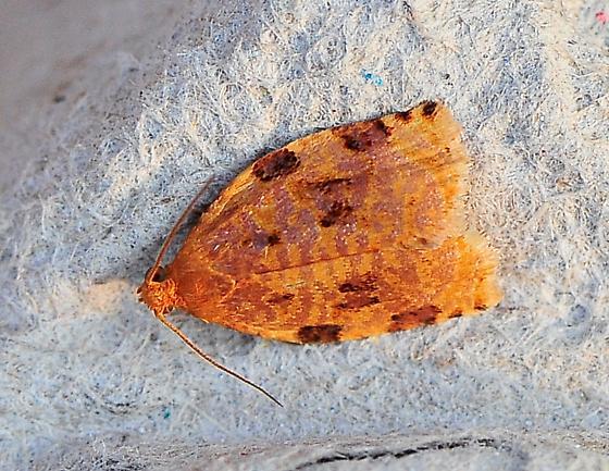 Archips cerasivorana - Ugly-nest Caterpillar Moth - Hodges#3661 - Archips cerasivorana