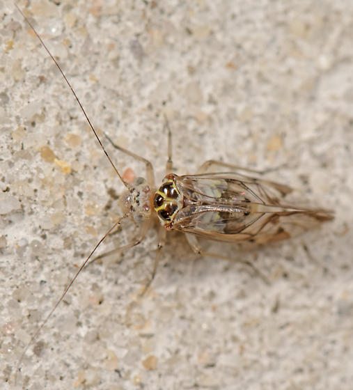 Metylophorus? - Metylophorus novaescotiae - female