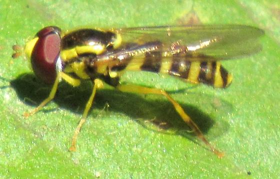 Hover Fly - Xanthogramma flavipes