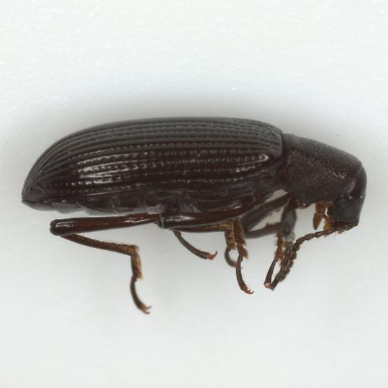 Talanus mecoscelis Triplehorn - Talanus mecoscelis