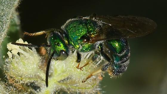 Augochloropsis metallica for Louisiana - Augochloropsis metallica - male