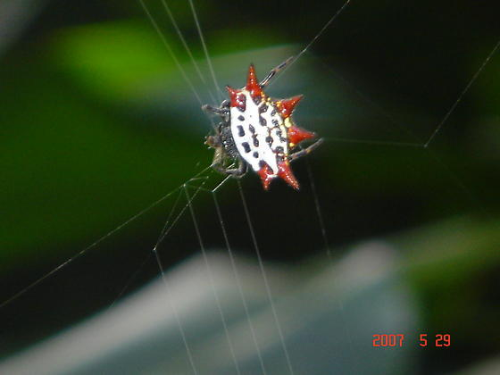 Hard-shell spider found on Maui