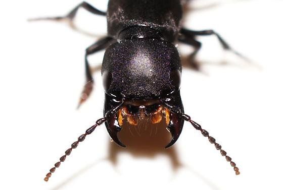 Devil's Coach Horse or another Rove Beetle? - Ocypus olens