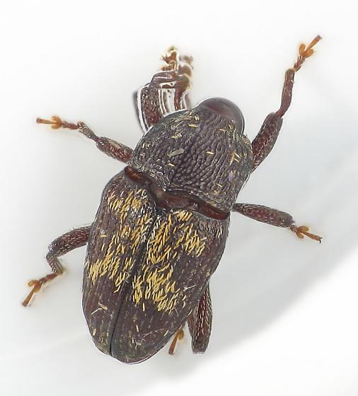 x-weevil - Glyptobaris lecontei