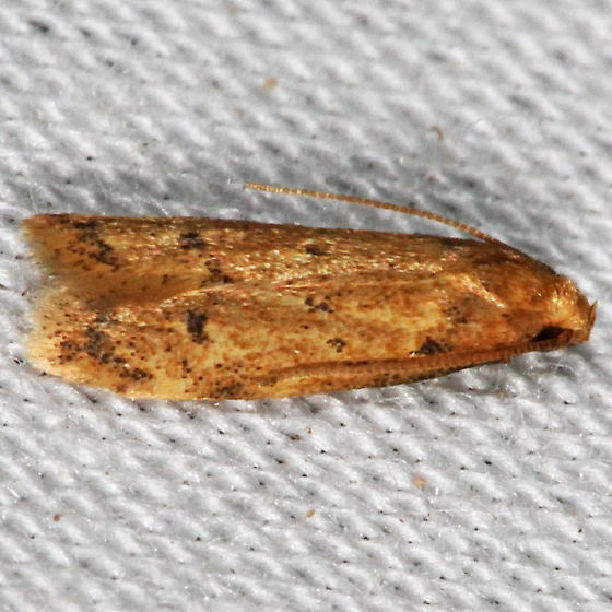 Unknown Micromoth - Gerdana caritella