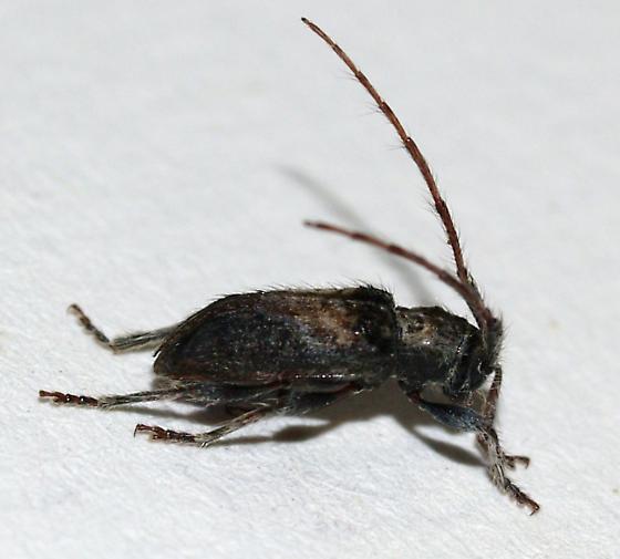 Little hairy longhorn - Poliaenus negundo