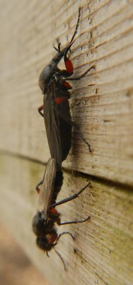 Dimorphic Dipteran Duo - Bibio femoratus - male - female
