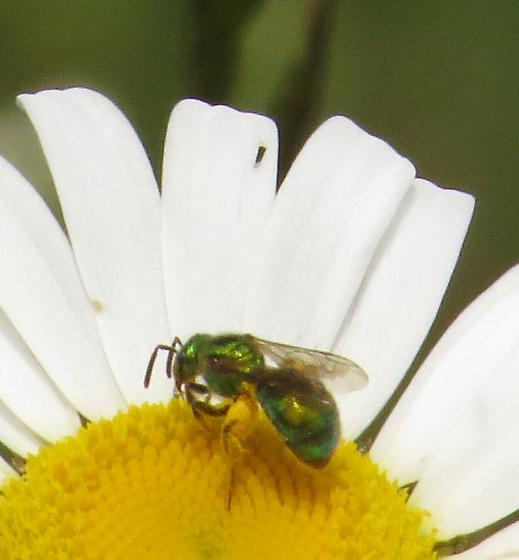 possible green metallic sweat bee (Augochloropsis metallica)  - Augochlorella aurata