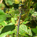 Cossey Dragonfly - Aeshna umbrosa