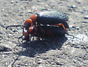 Beetle found on river mountain trail - Lytta magister