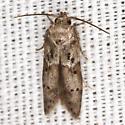 Acorn Moth - Hodges #1162 - Blastobasis glandulella
