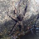 Fishing Spider - Dolomedes scriptus
