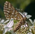 Elegant small moth - Fernaldella fimetaria - female