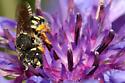 Pseudoanthidium nanum - female