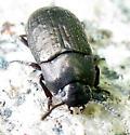 Beetle - Blapstinus metallicus