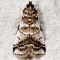 Acrobasis indigenella - Leaf Crumpler Moth - Acrobasis indigenella