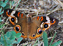Junonia coenia - Common Buckeye - Hodges#4440? - Junonia coenia