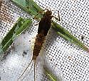 Baetis tricautdatus - Baetis tricaudatus - female