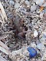 Ground Spider - Haplodrassus - female