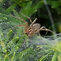 Funnel Spider - Agelenopsis
