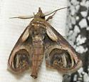 swirl moth - Paectes oculatrix - male