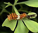 first moult Papilio polyxenes: eggs laid 08/22, hatched 08/26, 1st moult 08/30 - Papilio polyxenes
