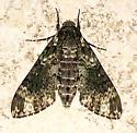 Dolba hyloeus – Pawpaw Sphinx Moth - Dolba hyloeus