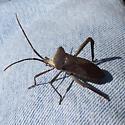 Hemiptera Coreidae - Acanthocephala declivis