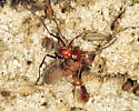 small spider wasp - Ageniella accepta - female