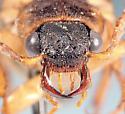 Selonodon - Selonodon mandibularis - male